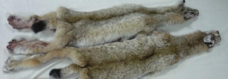 Обработка и качество шкур рыси
