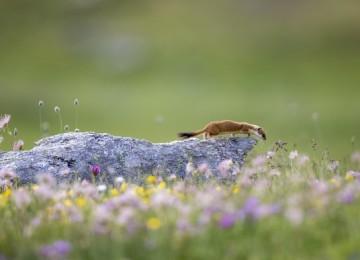 Описание и образ жизни горностая