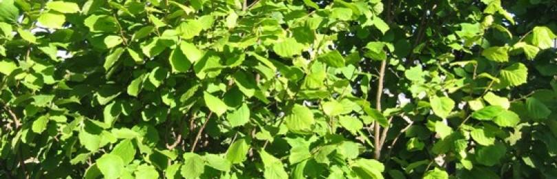 Собираем лесной орех лещины