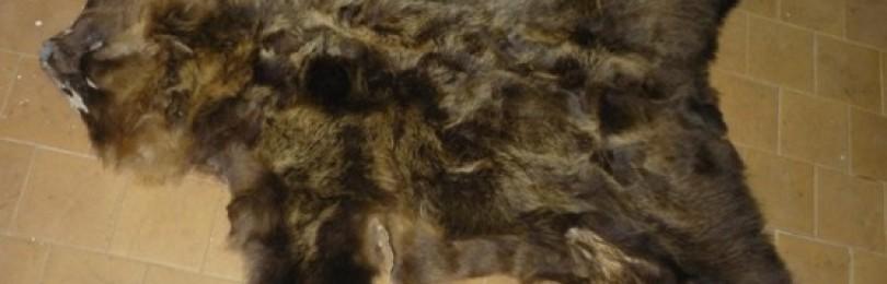 Съемка и обработка медвежьих шкур