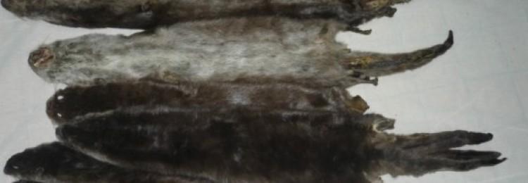 Качество и обработка шкурок выдры