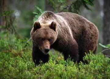Какой он, бурый медведь