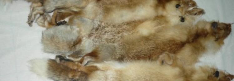 Шкурки дикой лисицы