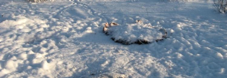 Охота на лисицу у привады