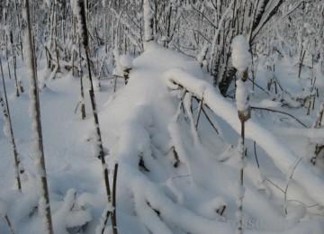 Промысел ондатры зимой
