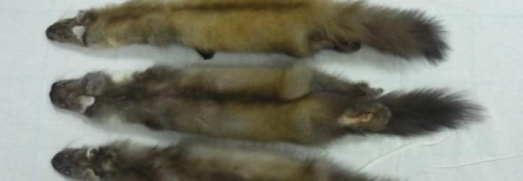 Обработка и качество шкурок куницы